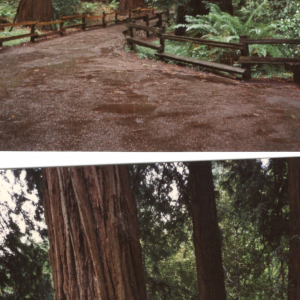 Sequoie -  San Francisco (Congresso APA 1993)
